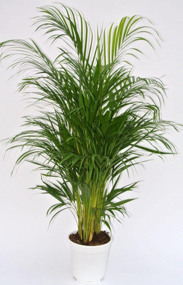 Areca lutescens (Dypsis)