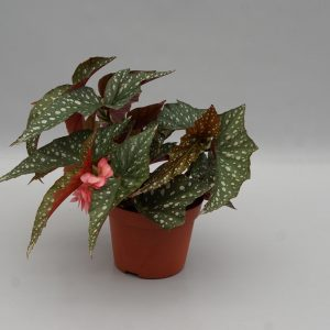 begonia charleston