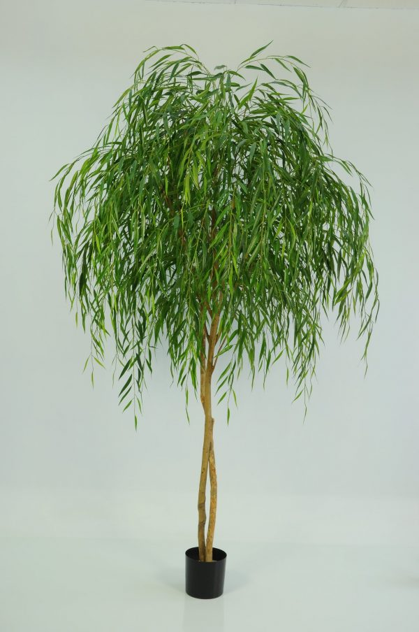 Chinese Willow