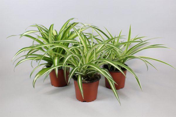Spider Plant Mix 12cm Pot