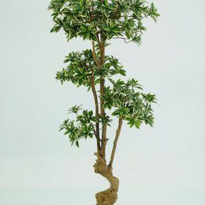 Euonymus Japonicus Bonsai