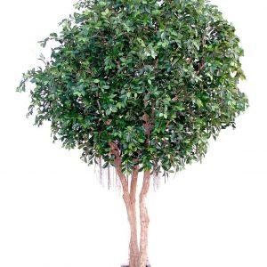 Ficus Giant