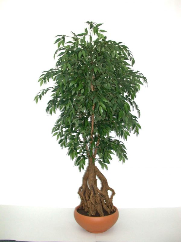 French Ficus Root
