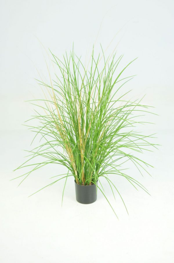 Honey Grass Potted