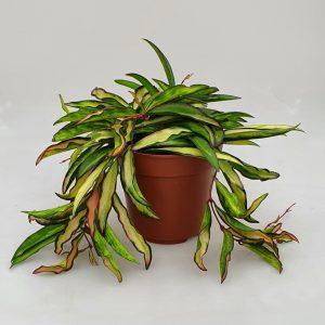 Hoya wayetii 'Tricolor'