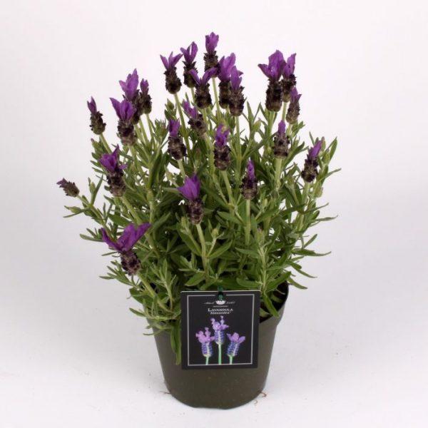 Lavandula stoechas 'Fantasia Early Purple'