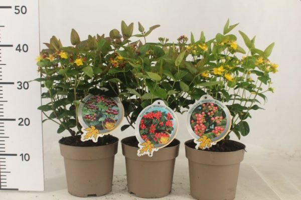 HYPERICUM MIRACLE ATTRACTION