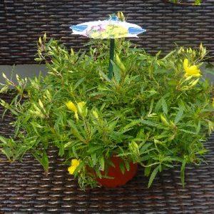 Oenothera 'African Sun