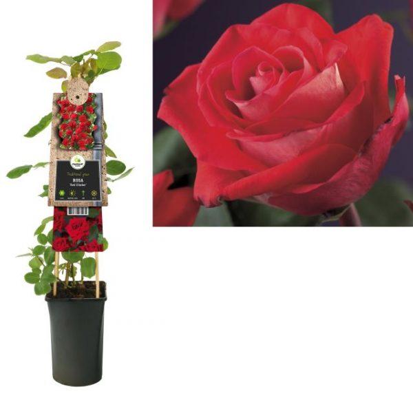 Rosa 'Flammentanz'