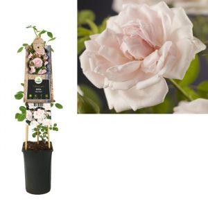Rosa 'New Dawn