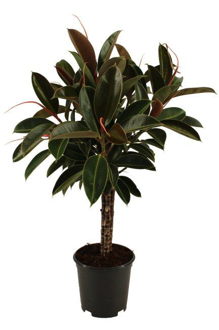 Ficus elastica 'Melany' (Rubber Plant) 21cm Pot, Trio Stem