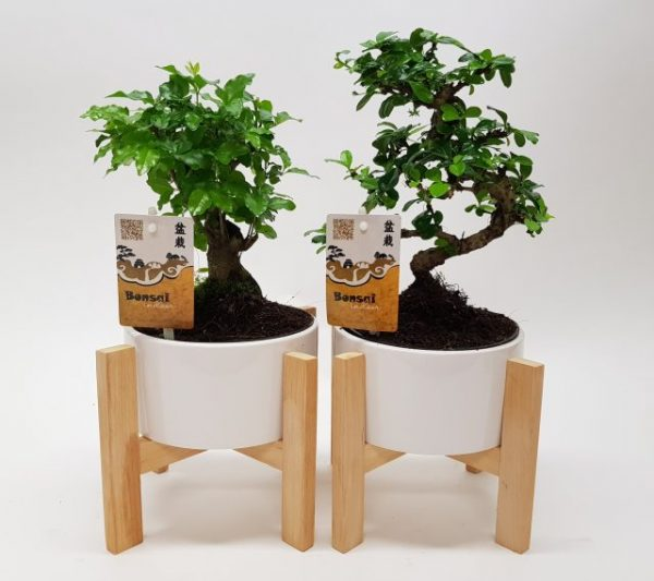 Bonsai Mix In White Ceramic Pot On Wooden Legs