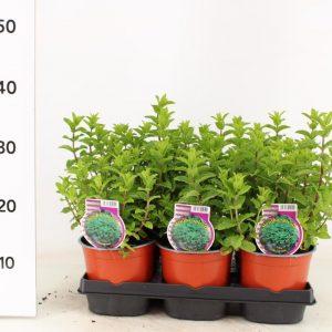 Mentha spicata var. crispa 'Moroccan'