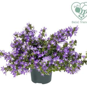 Campanula poscharskyana 'Adansa Purple'