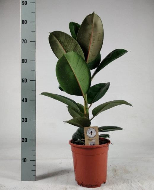 Ficus elastica 'Robusta'