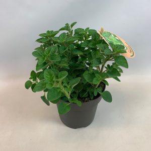 Origanum vulgare subsp. hirtum Oregano