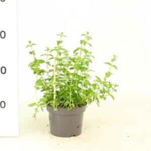 Mentha spicata Strawberry