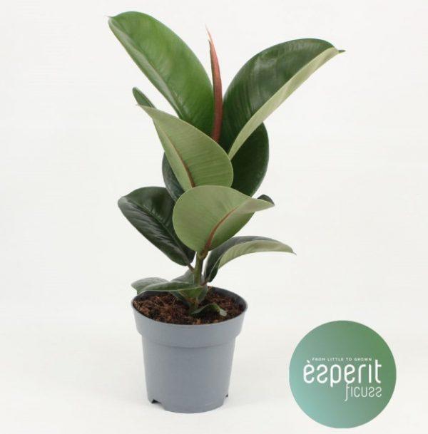 Ficus elastica 'Cloe'