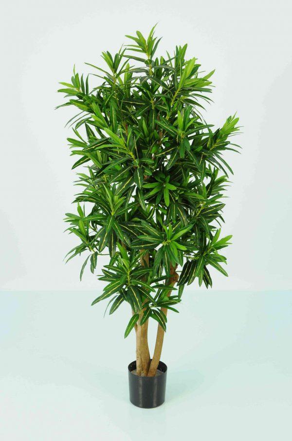 Slim Croton Multi