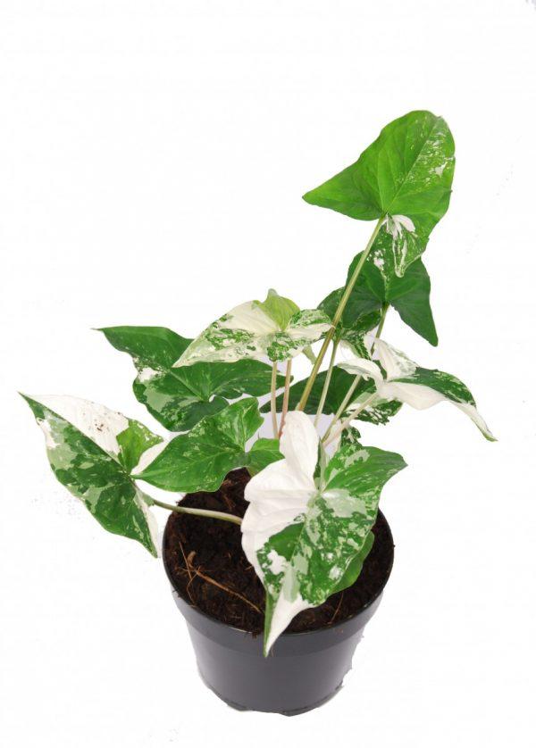 Syngonium variegata