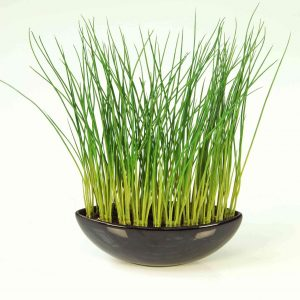 Young Grass in Pot