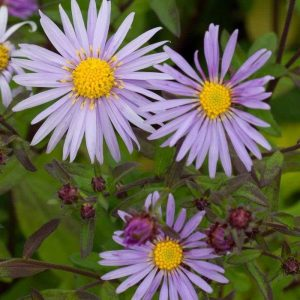 Aster ageratoides 'Eleven Purple'