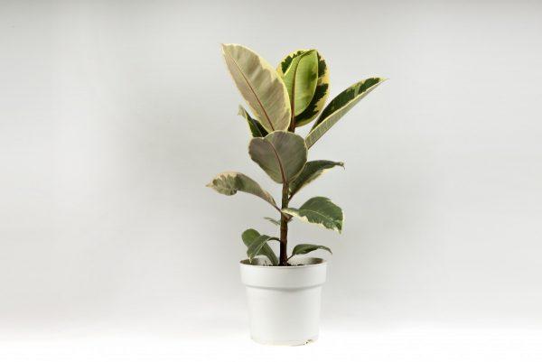 Ficus tineke
