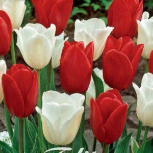 Tulipa 'Amsterdam'