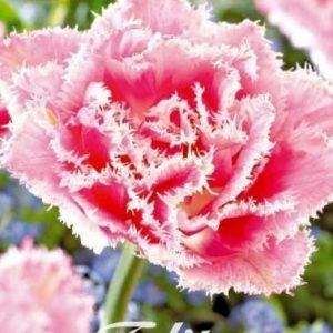 Tulipa 'Queensland'