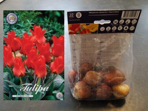 Tulipa 'Red Riding Hood'