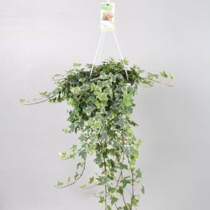 Hedera (Ivy) Variegated Mix
