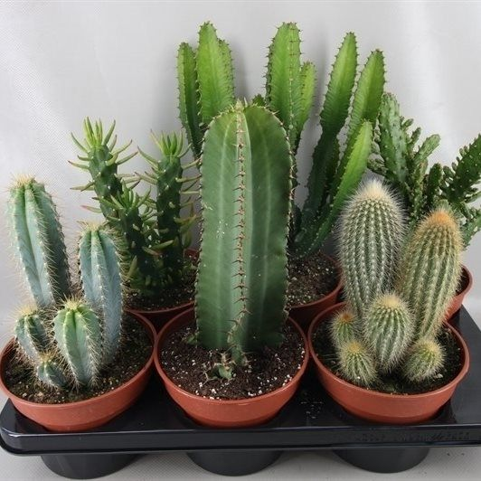 Cactus 'Column' mix