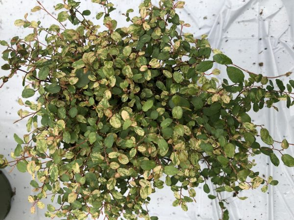 Muehlenbeckia complexa variegata