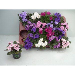 Saintpaulia (African Violet) Mix in 7cm Pot