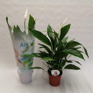 Spathiphyllum 'Bingo Cupido' (Peace Lily)
