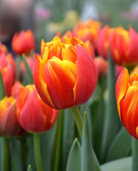 Tulip Crossfire
