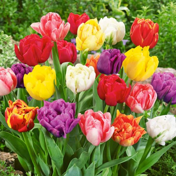 Tulip Double Early Mix