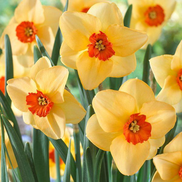 Narcissus 'Altruist'