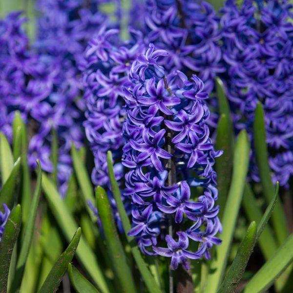 Hyacinth Blue Jacket