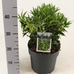 Sarcococca hookeriana var. humilis fragrant valley