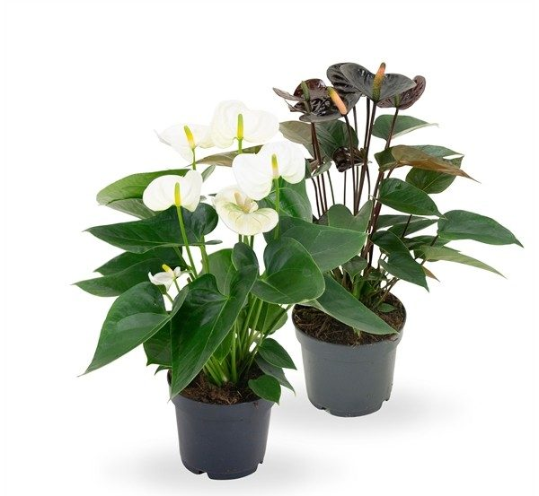 Anthurium karma black and white mix