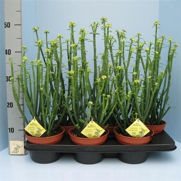 Euphorbia phosphorea