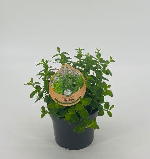 Mentha arvensis 'Strawberry'
