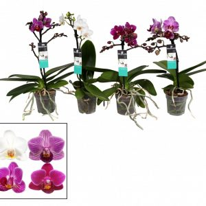 Phalaenopsis (Moth Orchid) Mix in 7cm Pot
