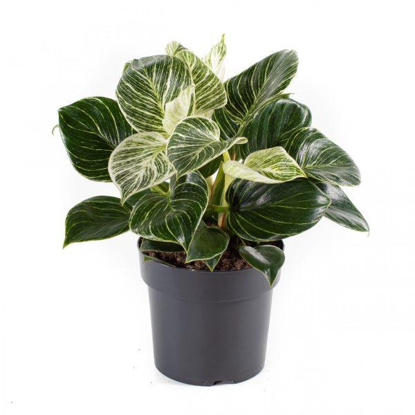 Philodendron 'White Measure' 14cm Pot