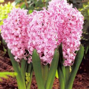 Hyacinth Pink Surprise