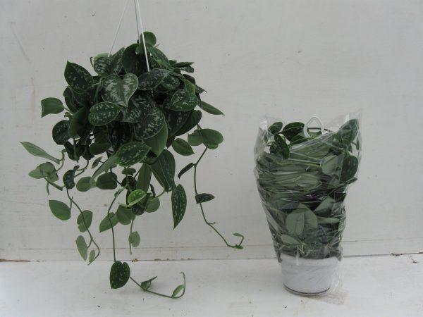 Scindapsus pictus 'Argyraeus' in 14cm Hanging Pot