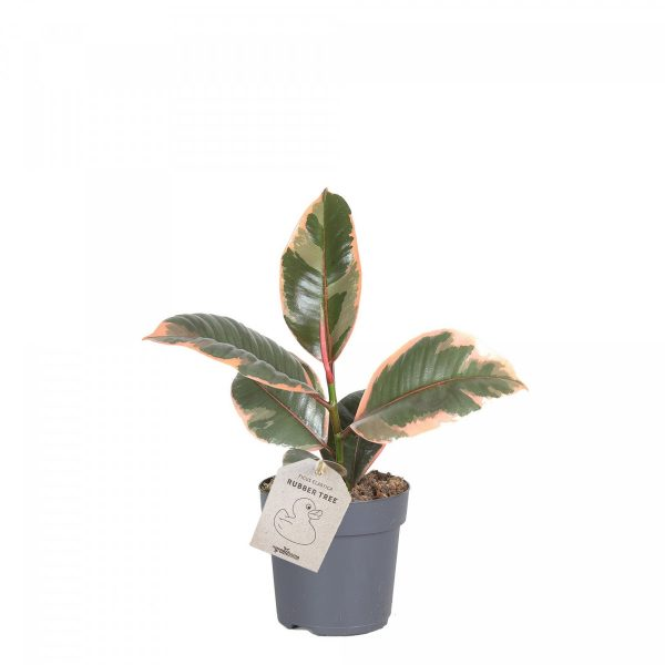 Ficus belize red/white