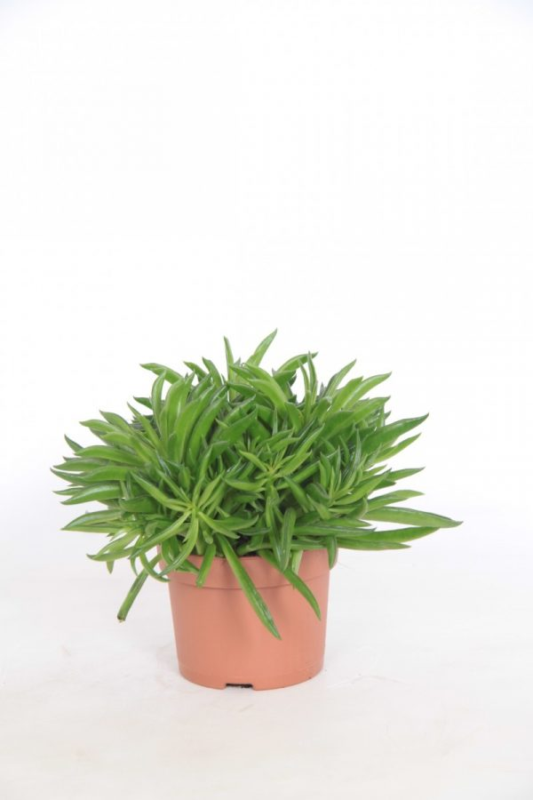 Peperomia ferreyrae 'Happy Bean' in 10.5cm Pot